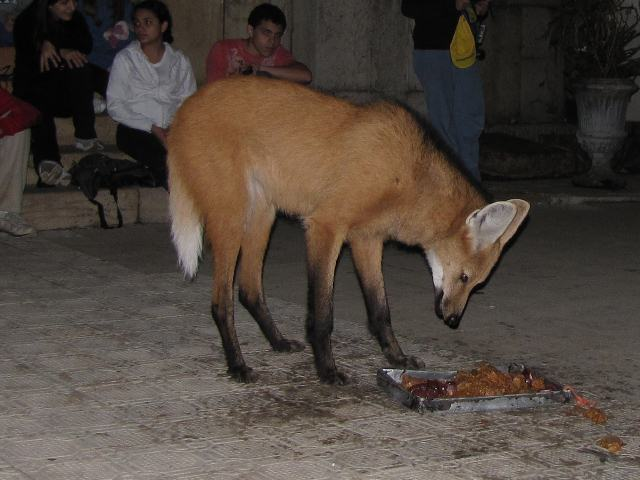 Maned Wolf Adaptations Maned Wolf Size Comparison